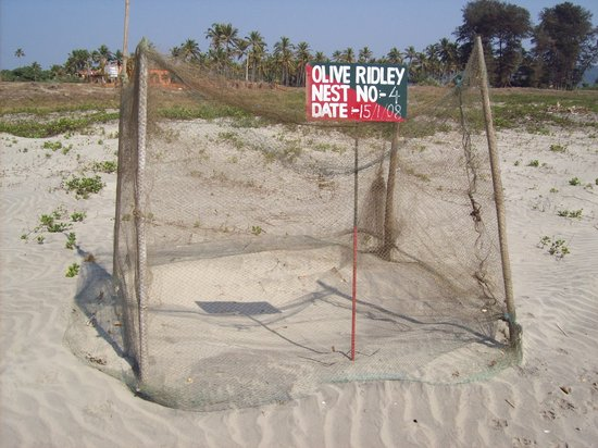 Pernem, Indien: turtle nests morgim beach