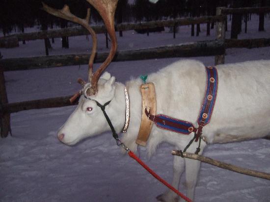 Lapland Hotels Riekonlinna: reindeer