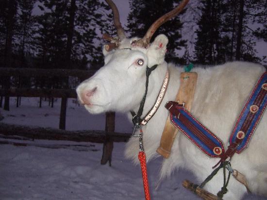 Lapland Hotel Riekonlinna: reindeer