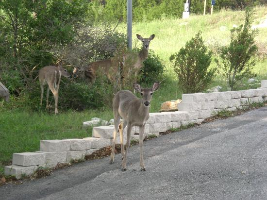 Holiday Lodge on Canyon Lake: Deer by the patio
