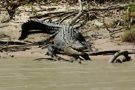 Darwin, Australia: ワニ