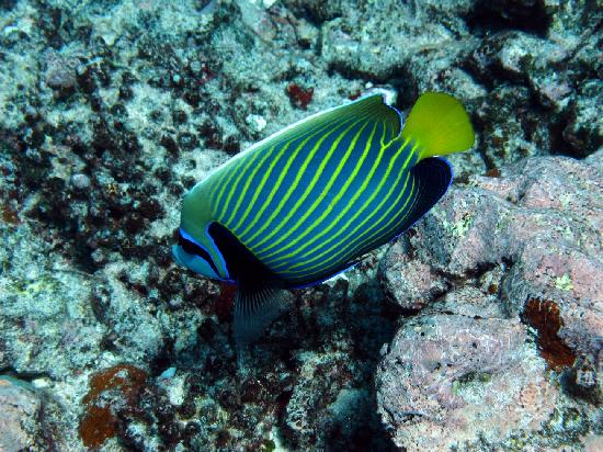 Pacific Divers: Emperor Angelfish
