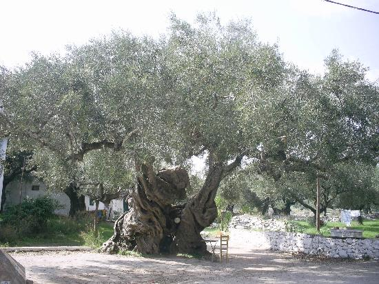 Каламаки, Греция: The oldest olive tree in the world