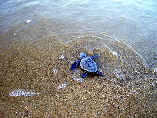 Veranda Beach Club: Baby Hatchling Sea Turtle making his way to water