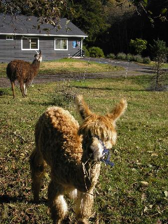 Cottages at Point Reyes Seashore: alpacas and llamas and goats, oh my