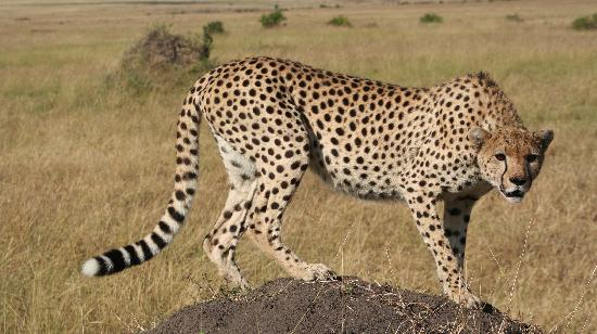 Ngerende Island Lodge: nearby cheetah