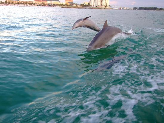 Clearwater Beach: Dolphins chasing the wake.