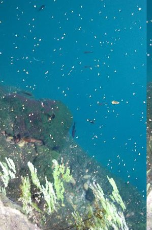 Valladolid, Mexico: Fish in clear water; leaf debris on surface