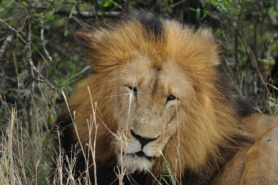 andBeyond Phinda Vlei Lodge: (EnteHuge Male Lion after Central Makeupr your caption here - required)