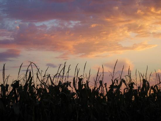 Illinois: Sunset with Corn Tassels