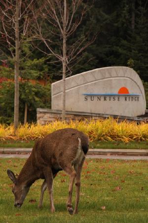 Sunrise Ridge Waterfront Resort: Deer eating grass out front of resort.