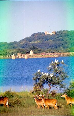 Shivpuri, Indien: BlueBull and  Lake of National park,George Castle seen in backdrop