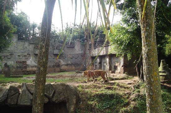 La Aurora Zoo: The Bengal Tigers at home