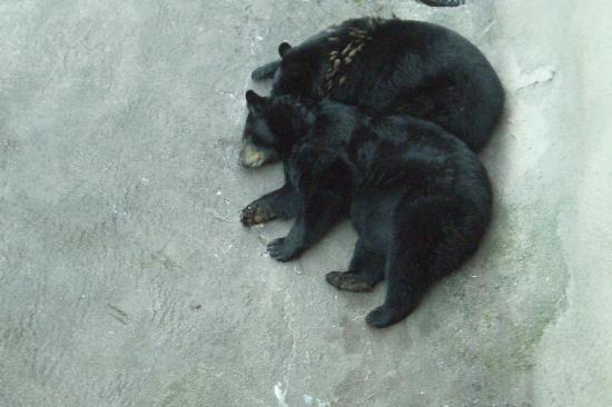 Ober Gatlinburg Amusement Park & Ski Area: Black Bears