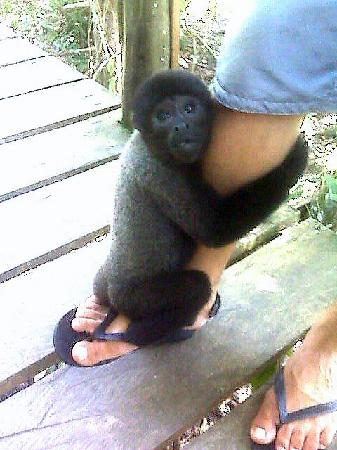 Juma Amazon Lodge: one of the 2 pet monkeys