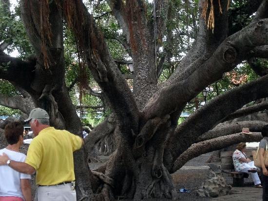 Banyan Tree Park: Tourists and Banyan