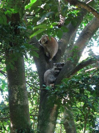 Parc des Mamelles, le Zoo de Guadeloupe: Racoons in Parc des Mamelles