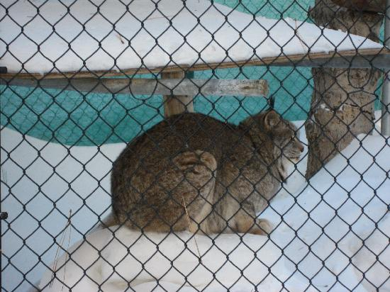 Big Bear Alpine Zoo at Moonridge: Canadian Lynx