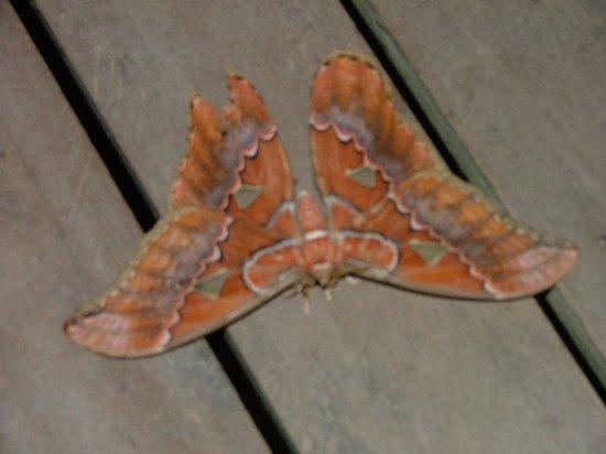 Lookout Inn Lodge: Atlas Moth