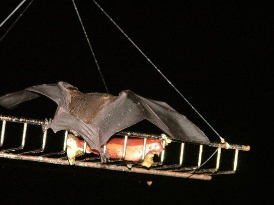 Lookout Inn Lodge: Bat having Dinner