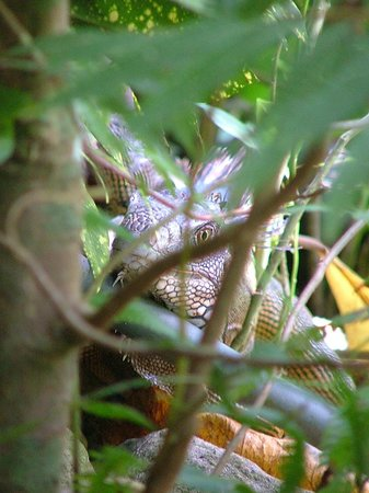 Lookout Inn Lodge: Iguana by the Pool