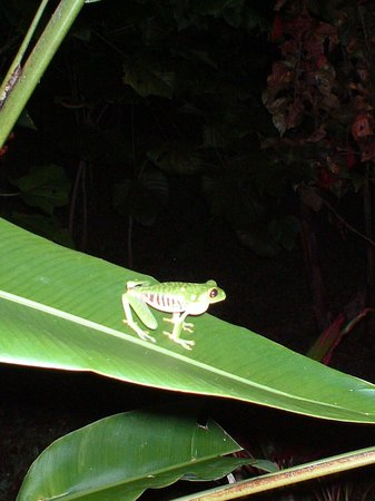 Lookout Inn Lodge: Red eyed green tree frog