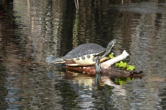 Orange City, FL: turtles