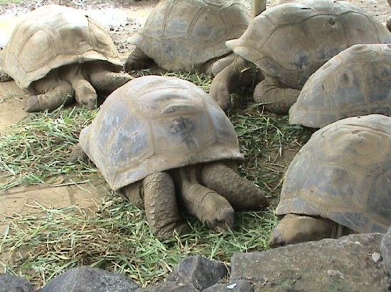 Veraclub Le Grande Sable: tartarughe giganti