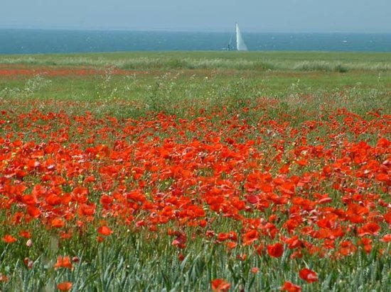 Poitou-Charentes, Francia: Poppies on Ile de Re