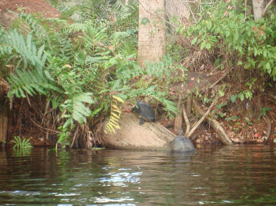 Canoe Outfitters of Florida: Turtles are a common site on the upper section going to Masten Dam