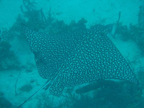 Glover's Atoll Resort: Spotted eagle ray