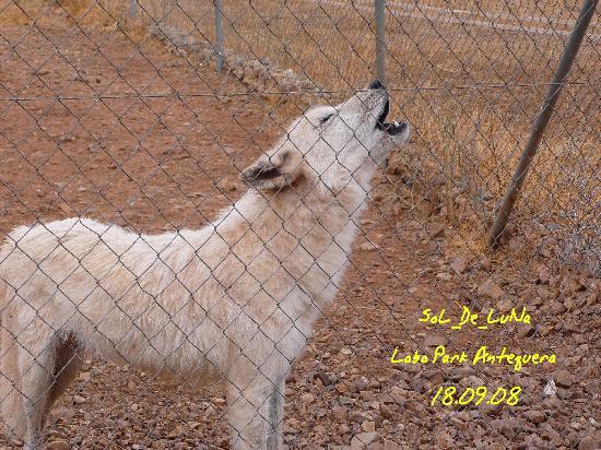 Lobo Park: Uno de los lobos aullando