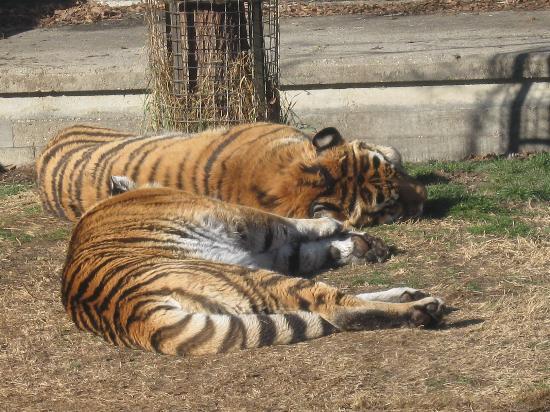Zoo Aquarium de Madrid: le tigri