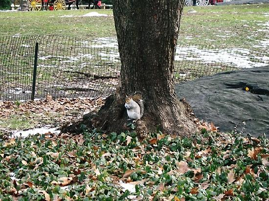 Residence Inn New York Manhattan/Times Square: friendly little squirrel in central park