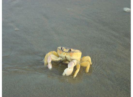 Nuevo Vallarta Beach: crabby