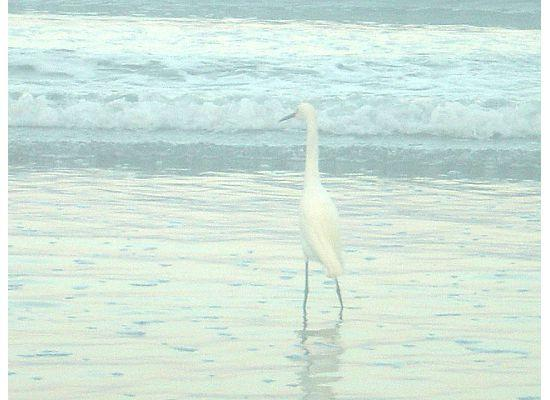 Nuevo Vallarta Beach: heron