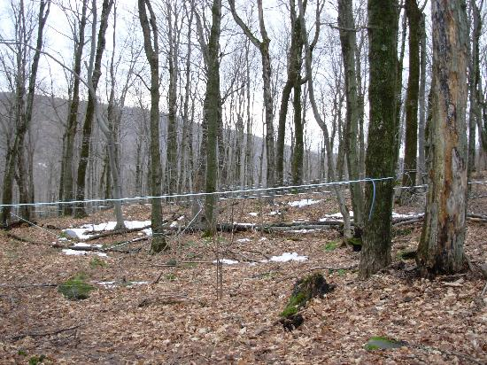 Merck Forest & Farmland Center: Maple Tree Sap Lines