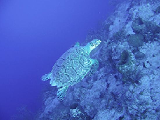 Providenciales: sea turtle swimming
