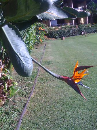 Napili Kai Beach Resort: Bird of Paradise flower on the putting green