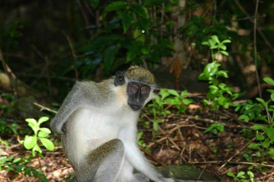 St. Kitts and Nevis: One of our Green Vervet Monkeys
