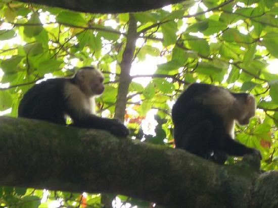 Arenas del Mar Beachfront & Rainforest Resort: Squirrel Monkey