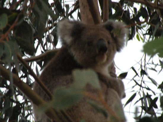 Southern Ocean Lodge: Koala on noturnal ramble
