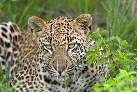 Londolozi Varty Camp: A leaopard at Londolozi