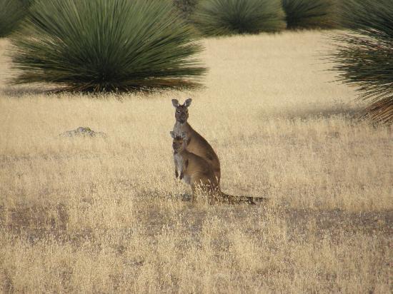 Eleanor River Homestead - Kangaroo Island: Kangaroo view from the veranda