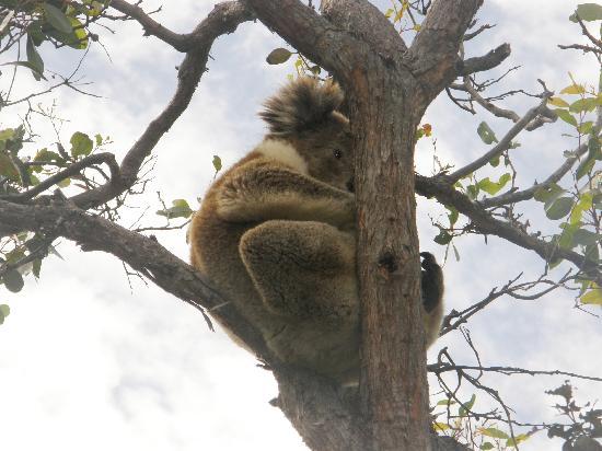 Eleanor River Homestead - Kangaroo Island: Koala in the tree outside the cabin