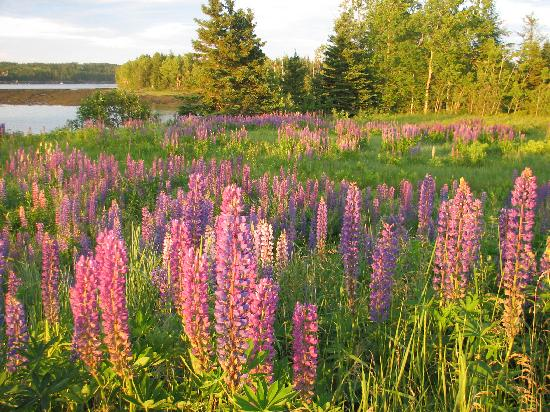 Pembroke, ME: More Lupines on Leighton Pt Road.Lupines . On your Way to Reversings Falls
