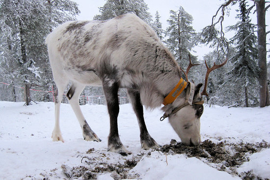 Ruka : Rudolph, one of the ski resort's pet reindeer.