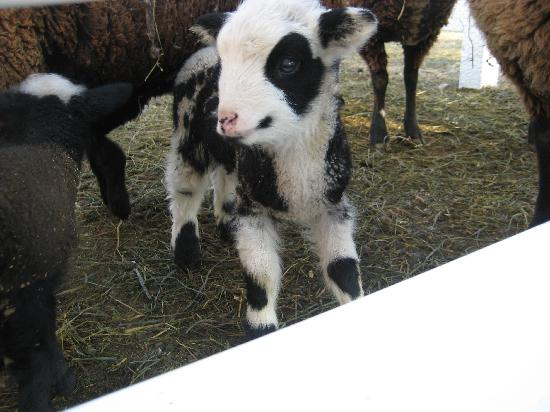 "Silverstone Inn & Suites: ""Baby cow"" from our trip"