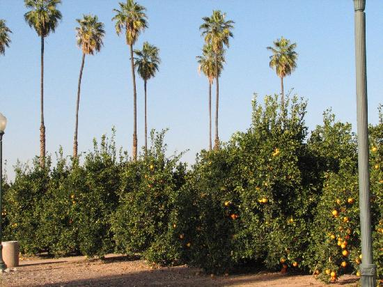 Riverside, Californie : Another close view of the citrus groves at the Callifornia Citrus Park