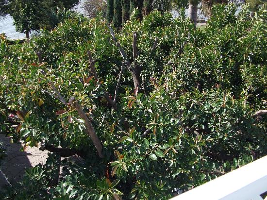 La Nueva Posada: The giant rubber tree which covers the dinning patio